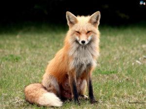 asset-fox